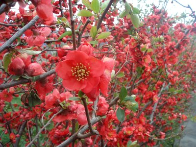 真っ赤な花です