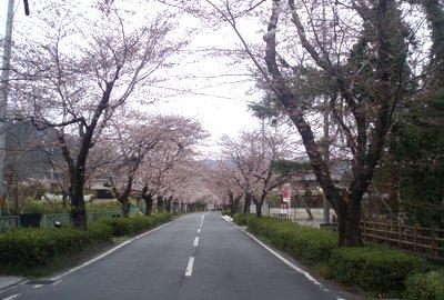 長瀞の桜並木は来週あたり満開ですか・・・