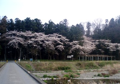 倉掛橋の桜