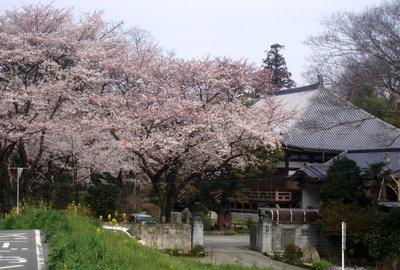 泉福寺の桜