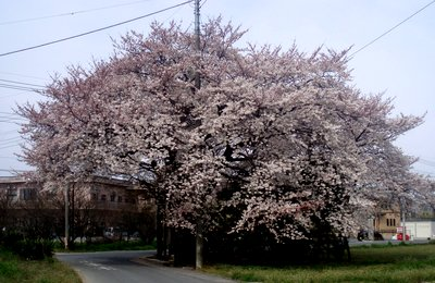 電柱がなければいいのに@朝練ルートの桜