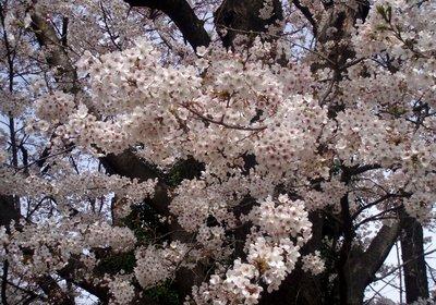 満開の桜@石戸蒲桜前の桜