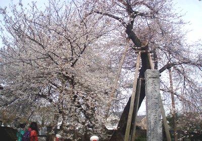 石戸の蒲桜