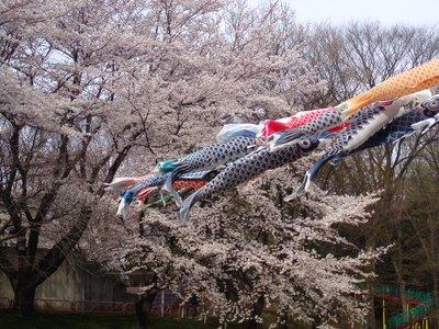 桜と鯉のぼり@北本市こども公園