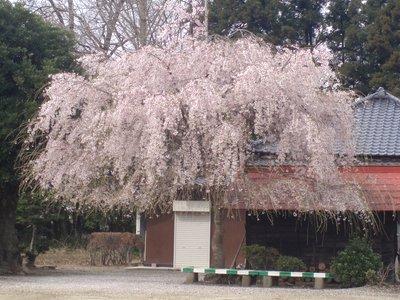 変わった感じのしだれ桜?