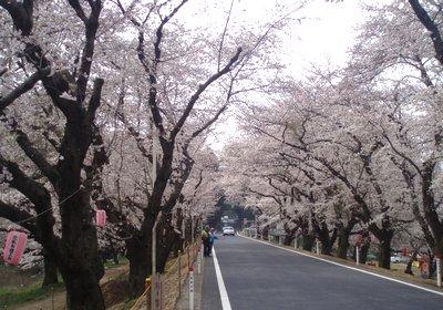 城ケ谷堤の桜