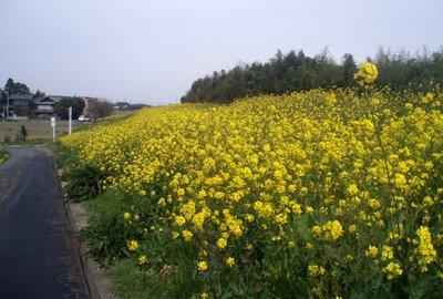 どこの土手も菜の花でいっぱい