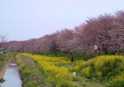 吉見の桜堤