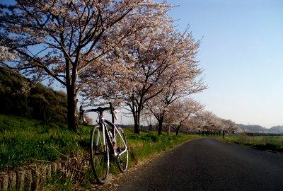 朝のうちは気持ちがイイ…でも桜はもう散ってます