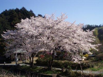今日の桜の中ではポイント高し@円良田湖近く