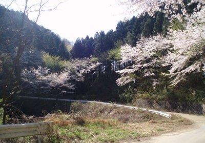 ちょっと登ると桜、桜、桜です@陣見山線