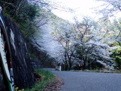 きれいに感じるのはなぜでしょう?@陣見山線の桜