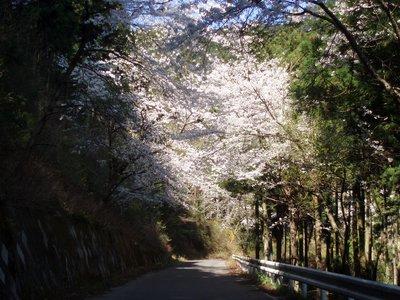 コントラストがきれいです@陣見山の桜と緑の木々
