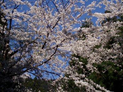 見上げれば空と桜のコントラストも見事!