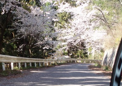 振り返るとまた、違った美しさ@陣見山線と桜