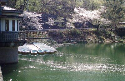 桜の花びらが散り始めた間瀬湖畔