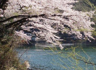 間瀬湖の桜を堪能2