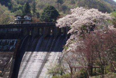 間瀬湖の桜を堪能4