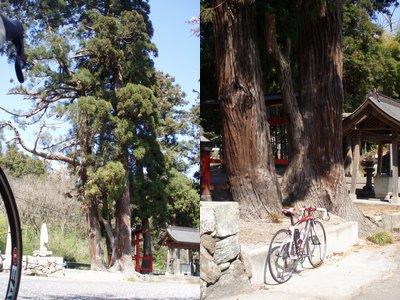 大きな木って 何かを感じますね