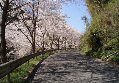 桜並木もあり