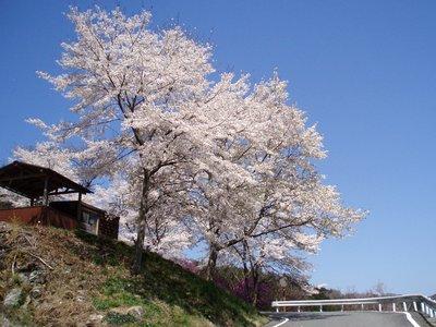 矢納の吉野桜