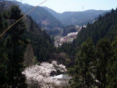 さきほど見た桜と岩つつじ@城峯公園側への上りにて