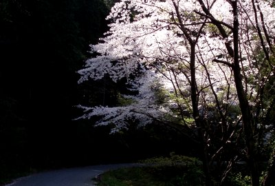 もうすぐ桜の季節 (^^)