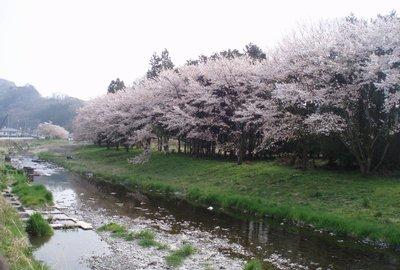 里での桜はもう終わりですね