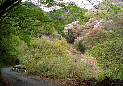 桜と新緑のコントラスト@林道刈場坂線
