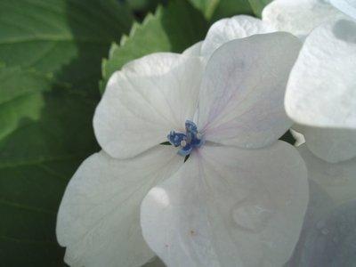 あじさいの花って、真ん中のとこなんでしょ?