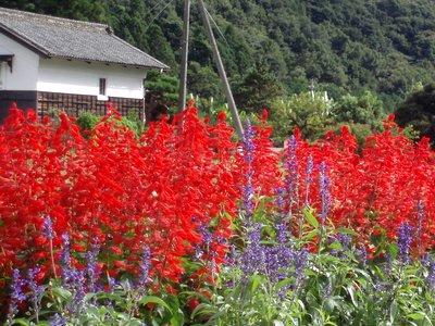 サルビアとサルビア・グアラニチカ@夏の花