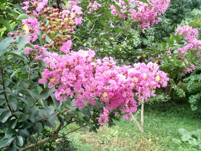 百日紅(さるすべり)ピンクバージョン@夏の花