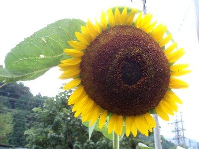 向日葵(ひまわり)@夏の花