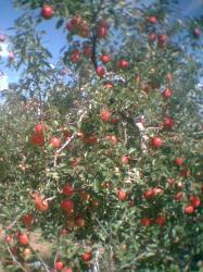 りんご3001