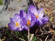 クロッカス紫H200315