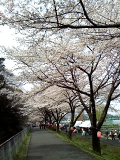 2009cherry blossoms001