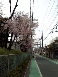 2009cherry blossoms003