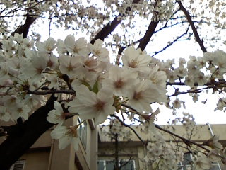 2009cherry blossoms004
