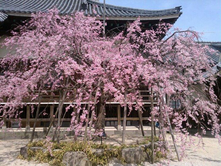 benizakura_20120409115757.jpg