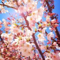 sakura_20120409115747.jpg