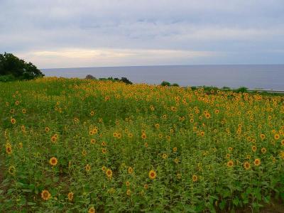 写真キャプション=外海府の海沿いの畑に植えられたヒマワリの群れ