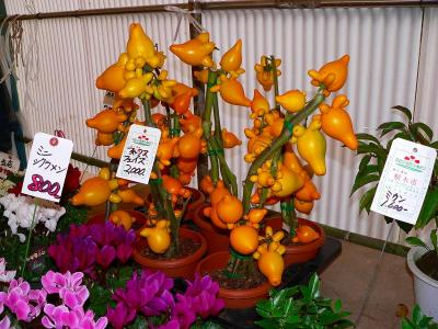 写真キャプション=公園内にある花屋の出店で佐渡屋太郎を驚かせた「フォックスフェイス」という植物