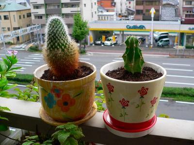 写真キャプション=分離の植え替え作業が終わり、互いに独立した鉢で成長することになった大小のサボテン