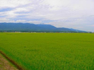 写真キャプション=佐渡の「国仲平野」ですくすくと育つ豊穣の「コシヒカリ」の水田