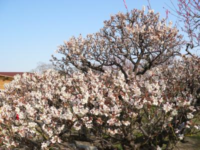 写真キャプション=全体的には4分咲き程度であったが、中には満開の木もあった