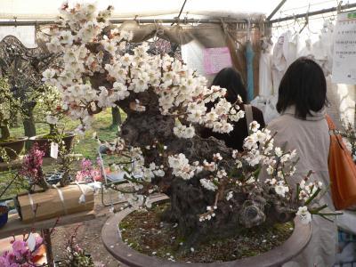 写真キャプション=植木市コーナーにあった見事な梅の盆栽