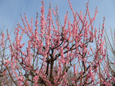 写真キャプション=天を突くように若枝を伸ばす梅の生命力
