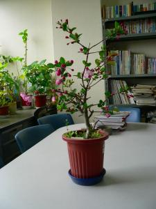 写真キャプション=春の到来ともに、やっと咲き始めた「街道桜」の鉢植え
