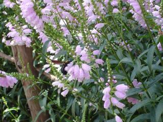 平泉のお花たち3