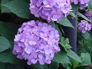 浅虫の紫陽花2